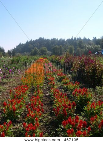 Celosia Field