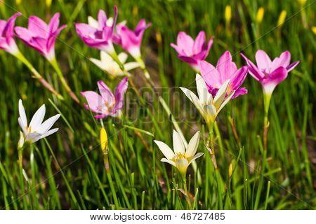 Flor de lirio hermoso de lluvia púrpura y amarilla