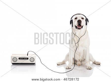 Labrador retriever listen music with headphones