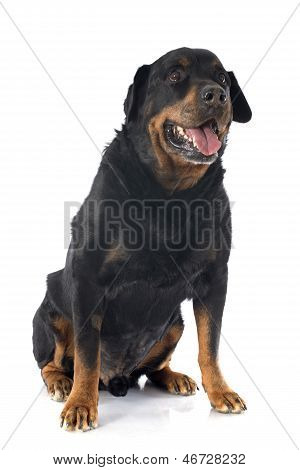 Senior Rottweiler