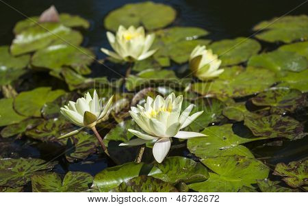 Water lilies in the pond