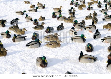 Many Ducks On Ice