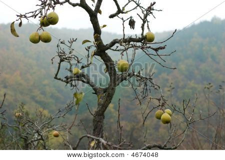 Pear Tree With No Leaves