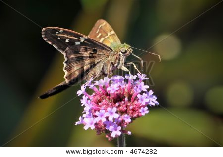 Longtailed Skipper Butterfly On Pink Flowers