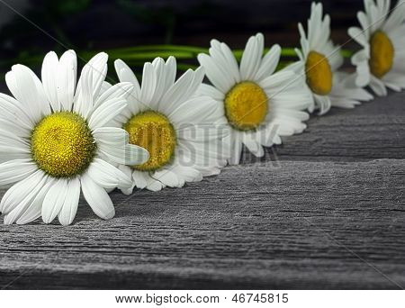 Closeup row of daisy on old wooden  background