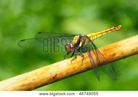 Golden Yellow Dragonfly