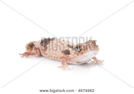 Knobtail Gecko (wheelen)