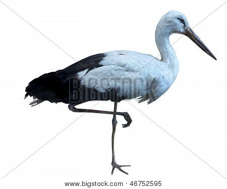 White Stork - Ciconia Ciconia Isolated Over White