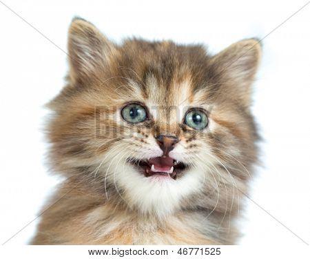 Retrato de Carey gatito closeup