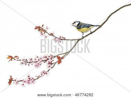 Side view of a tweeting Blue Tit perching on a blossoming branch, Cyanistes caeruleus, isolated on white