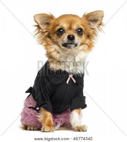 Dressed up Chihuahua sitting, facing, 14 months old, isolated on white