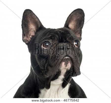 Close-up of a French Bulldog looking up, 2 years old, isolated on white