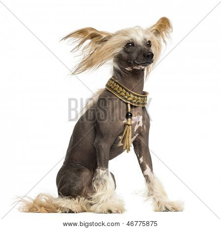 Side view of a Chinese Crested Dog sitting, 3 years old, isolated on white
