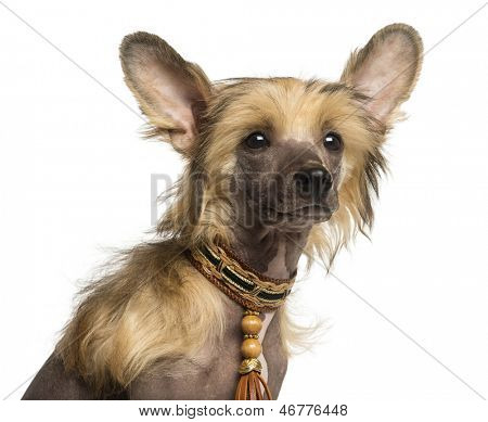Close-up of a Chinese Crested Dog puppy, 4 months old, isolated on white