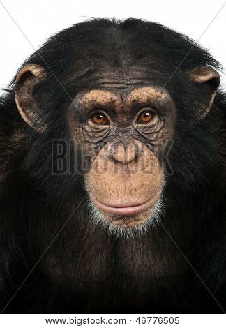 Close-up of a Chimpanzee looking at the camera, Pan troglodytes, isolated on white