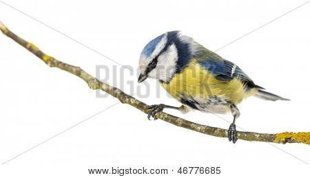 Blue Tit perched on a branch looking down, Cyanistes caeruleus, isolated on white