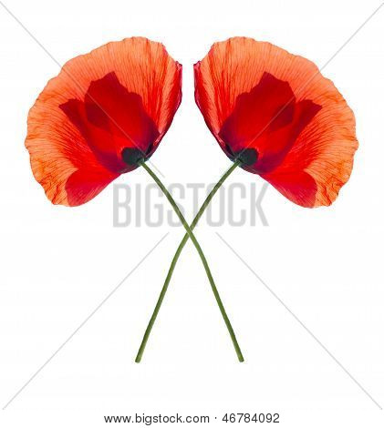 Two Red Poppies Isolated