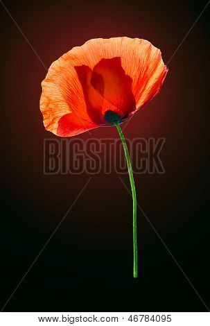 Red Poppy On Dark Brown Background