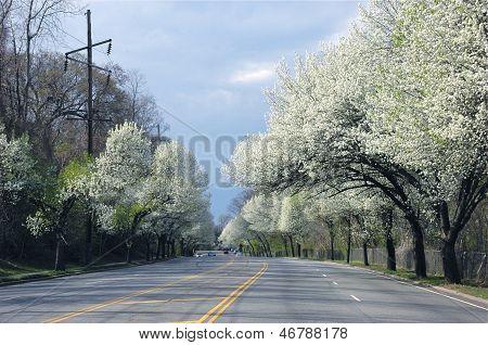 Bradford Pear Trees line a street on Long Island