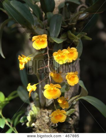 Gold Round Orchids