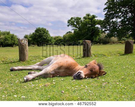 Pônei marrom bonito potro dormindo na grama