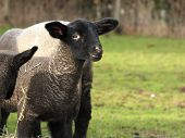 stock photo of suffolk sheep  - Suffolk sheep lamb approximately four weeks old - JPG