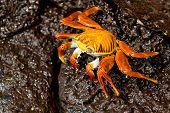 picture of crustations  - red crab on the rock Galapagos islands - JPG