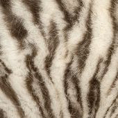 stock photo of white tiger cub  - Macro of a White tiger fur - JPG