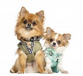 stock photo of no clothes  - Two dressed up Chihuahuas sitting - JPG