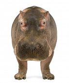 Hippopotamus - Hippopotamus amphibius, facing the camera, isolated on white