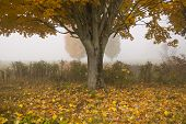 Lone Maple Tree On A Foggy Fall Morning In Vermont, Usa