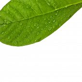 stock photo of avocado tree  - One green leaf with water drops close up isolated on a white - JPG