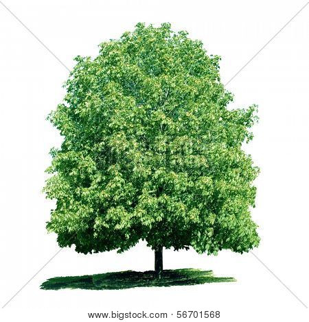 Isolated green chestnut tree on the white background.