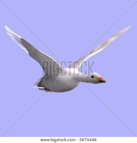 Flying Snow Goose