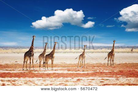Manada de jirafas