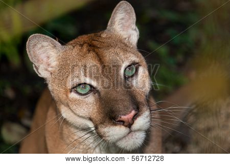 Green Eyed Cougar