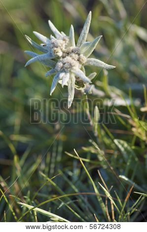 Edelweiss flower in  Gorkhi-Terelji National Park, Mongolia