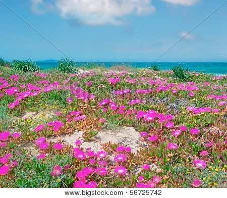 Sardinian Flowers