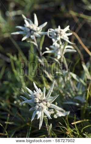 Edelweiss flowers in  Gorkhi-Terelji National Park, Mongolia