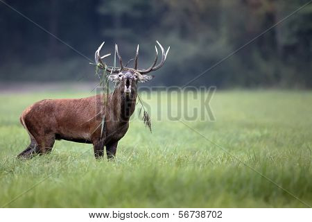 A red deer bellowing