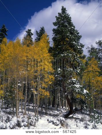 Snow Aspens