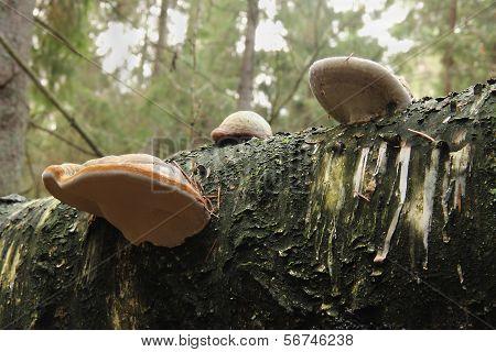 mushrooms on the birch