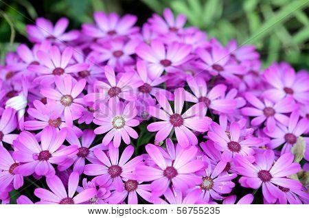 Osteospermum Hybrid Flower