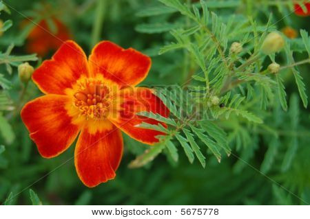 Zinnia Flowers On The Natural Background