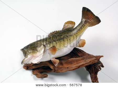 Largemouth