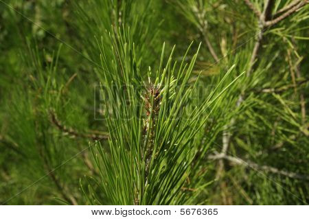 crimea pine