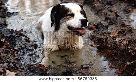 Dog takes bath in muddy water