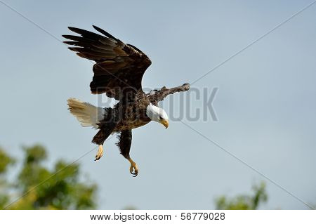 The Bald Eagle (Haliaeetus leucocephalus) flying outdoor