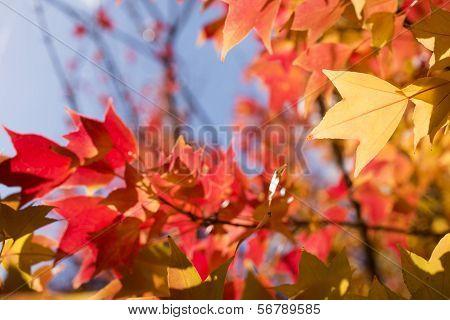 Autumn Trident maple leaf