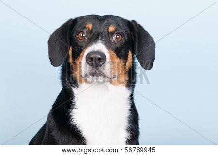 Portrait of an Entlebucher Sennenhund on blue background